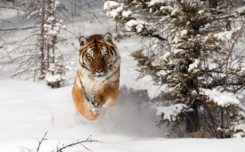 China and Russia Work To Preserve Siberian Tiger.